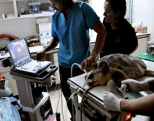 Anesthetic monitoring of a sea turtle
