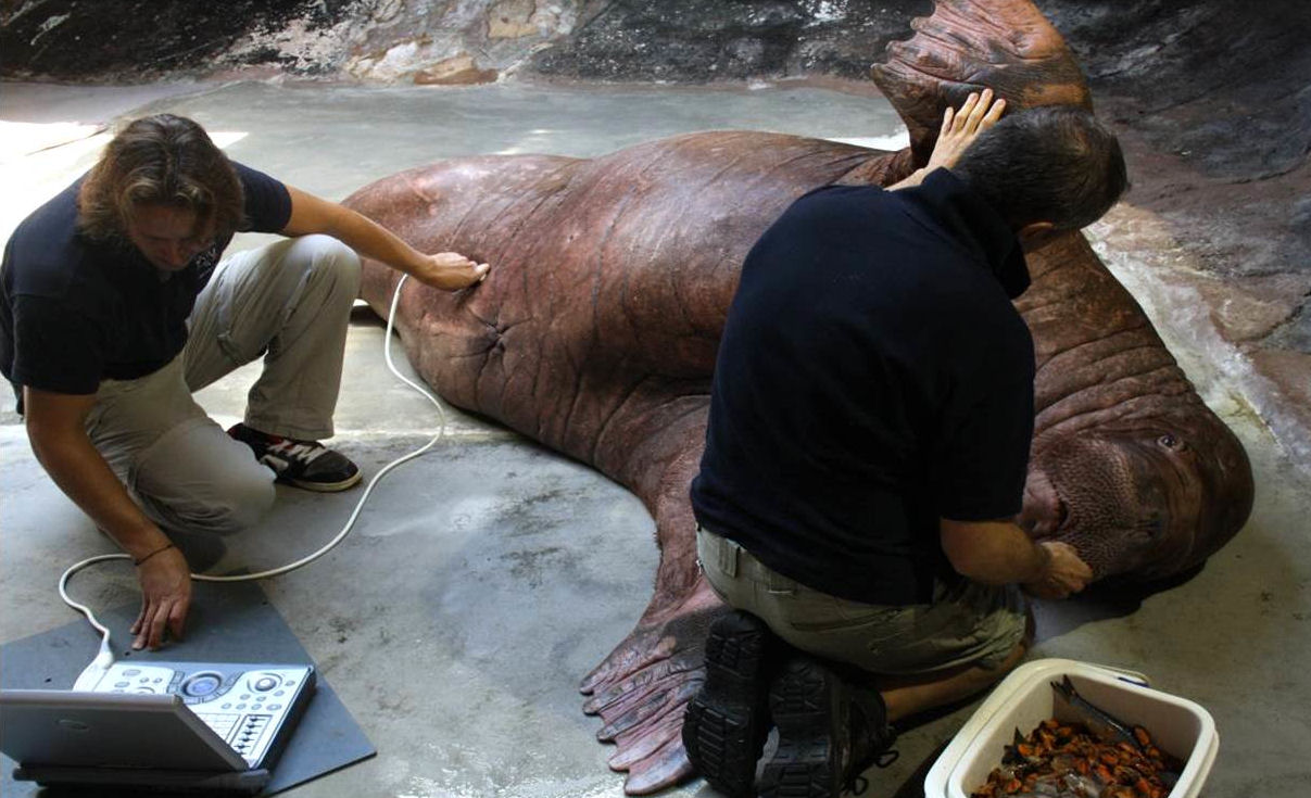 Walrus can weigh up to 1,500 kg