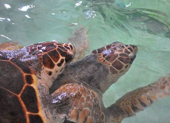 Ultrasound can be used to assess follicular development and buoyancy problems for sea turtles