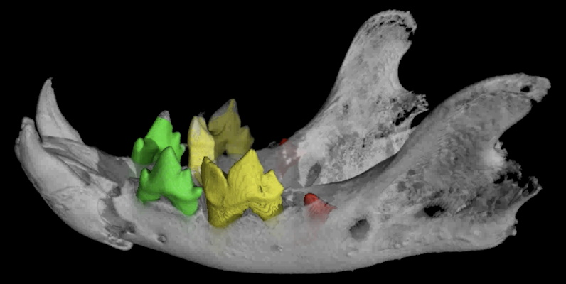 This scan of the mandible and teeth of a mummified cat reveals fractures and unerupted mandibular first molars, indicating it was a kitten at the time of death