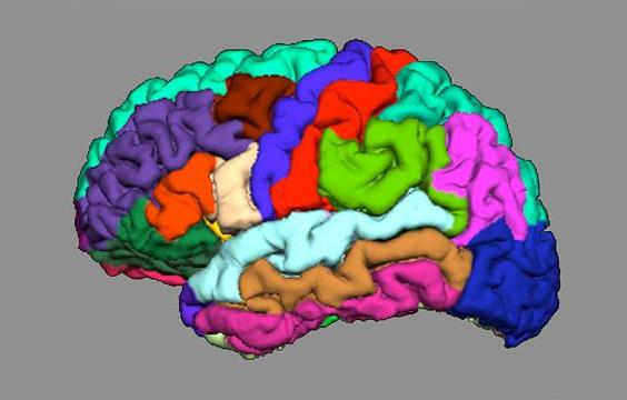 Simplified representation of cortical folding in different brain regions