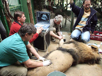 An Asian lion receiving an ultrasound exam